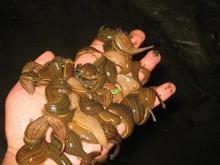水蛭  蚂蝗