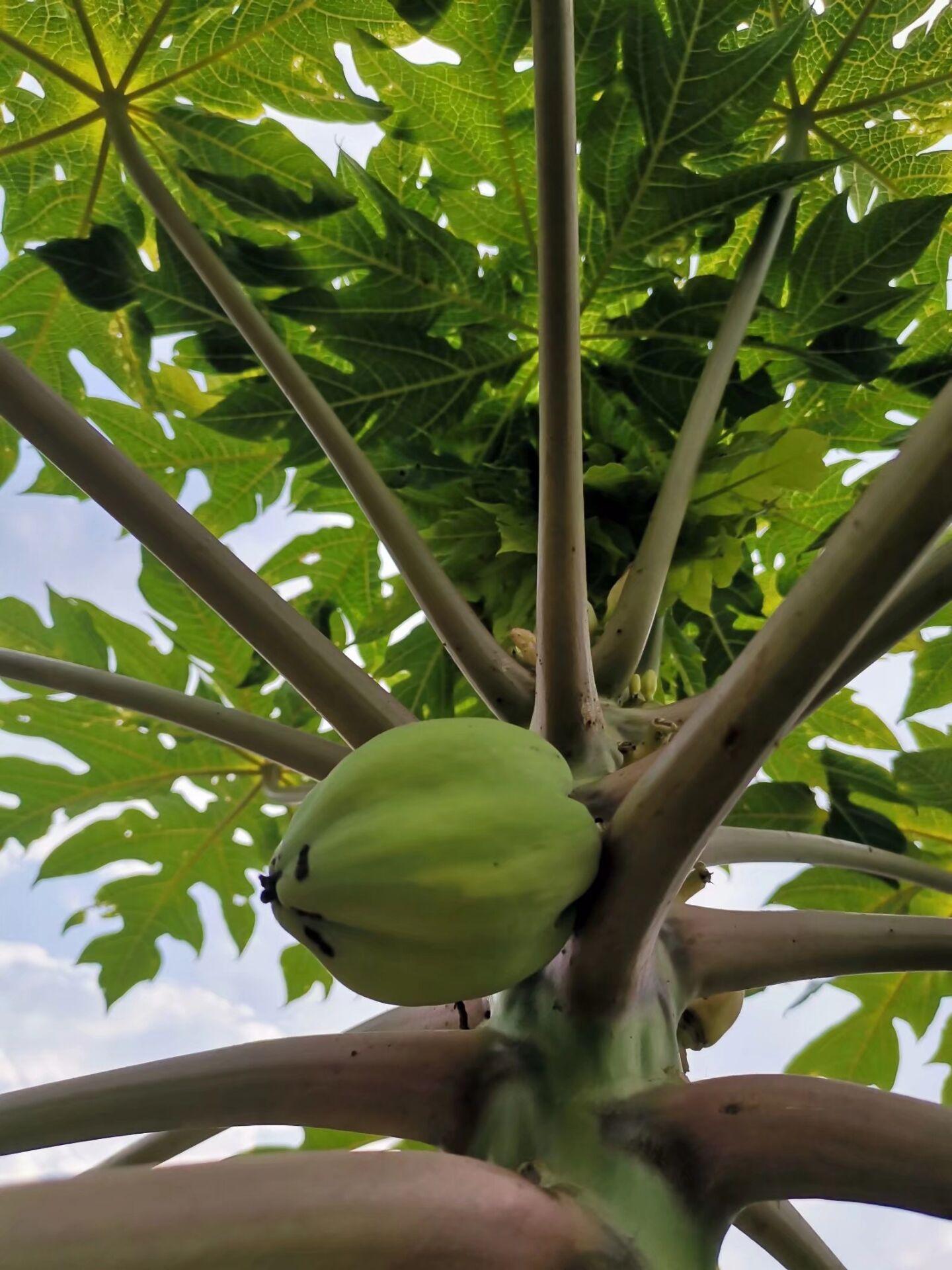 【随拍】木瓜树
