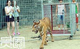 剧中有老虎的戏份,发布会也请来了活老虎
