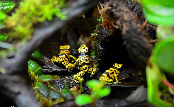家庭水缸里饲养的箭毒蛙