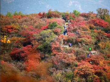 10.21坡峰岭层林尽染秋叶红