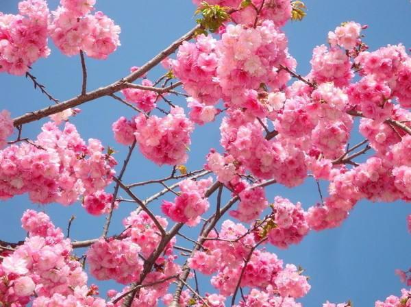 清明4月5号崇州樱花徒步一日游