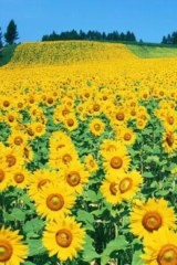 游览向日葵