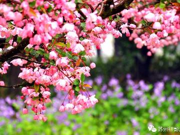 黿头渚-无锡樱花节