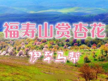 【伊犁马帮】4月15日大西沟福寿山赏杏花