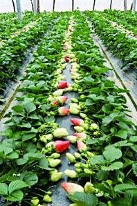 【山清水秀!草莓甜!】郊游免费,采摘AA