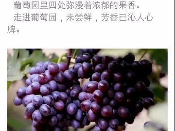 葡萄采摘  赏荷花   一日游