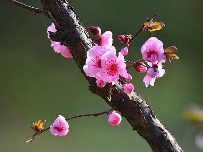 2月4号九峰山看梅花??