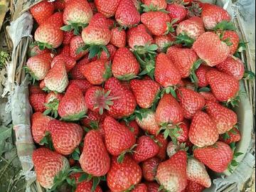 踏青摘草莓