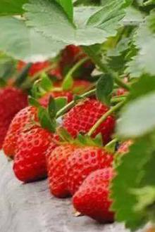 1月15日观花宴+摘草莓休闲一日游