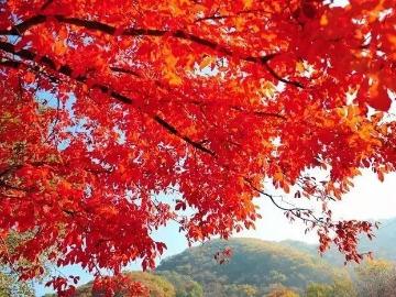 徒步|徒步探访春天最后的红叶浪漫