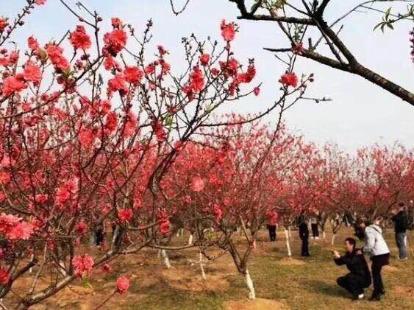 2月24日松山湖风景区看桃花赏美景