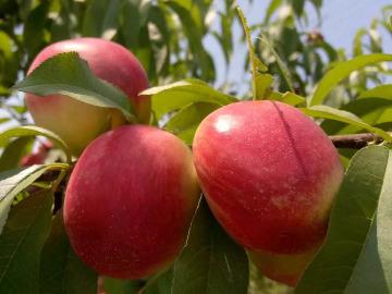 品尝特色农家菜、摘油桃、脆桃一日游