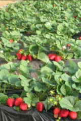 草莓上市啦!