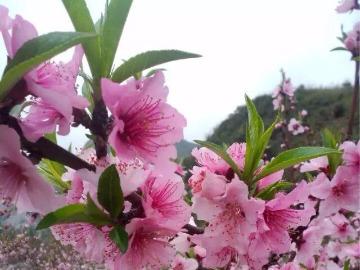 (丛林A部落)3月19日星期天,海洋桃花