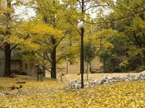 11月17日秋意正浓,去阳山赏银杏泡温泉