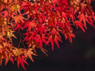 衫际内-云顶,看枫叶赏秋