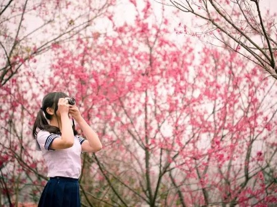 【周八】永福粉红色樱花最后一期,一日游
