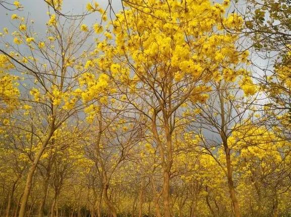 【周八】黄花风玲木+白鹭公园+窑鸡一日游