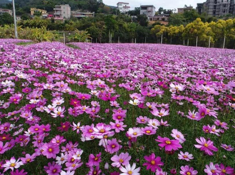 【周八】赏格桑花,茶马古道,古龙酱文化园
