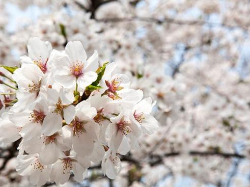 【3.18】 南京樱花、二月兰赏花一日游
