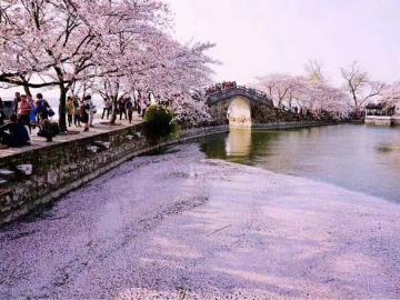 3.31无锡太湖鼋头渚樱花美如仙境
