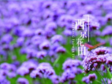6.15太湖西京湾,邂逅浪漫的紫色花海