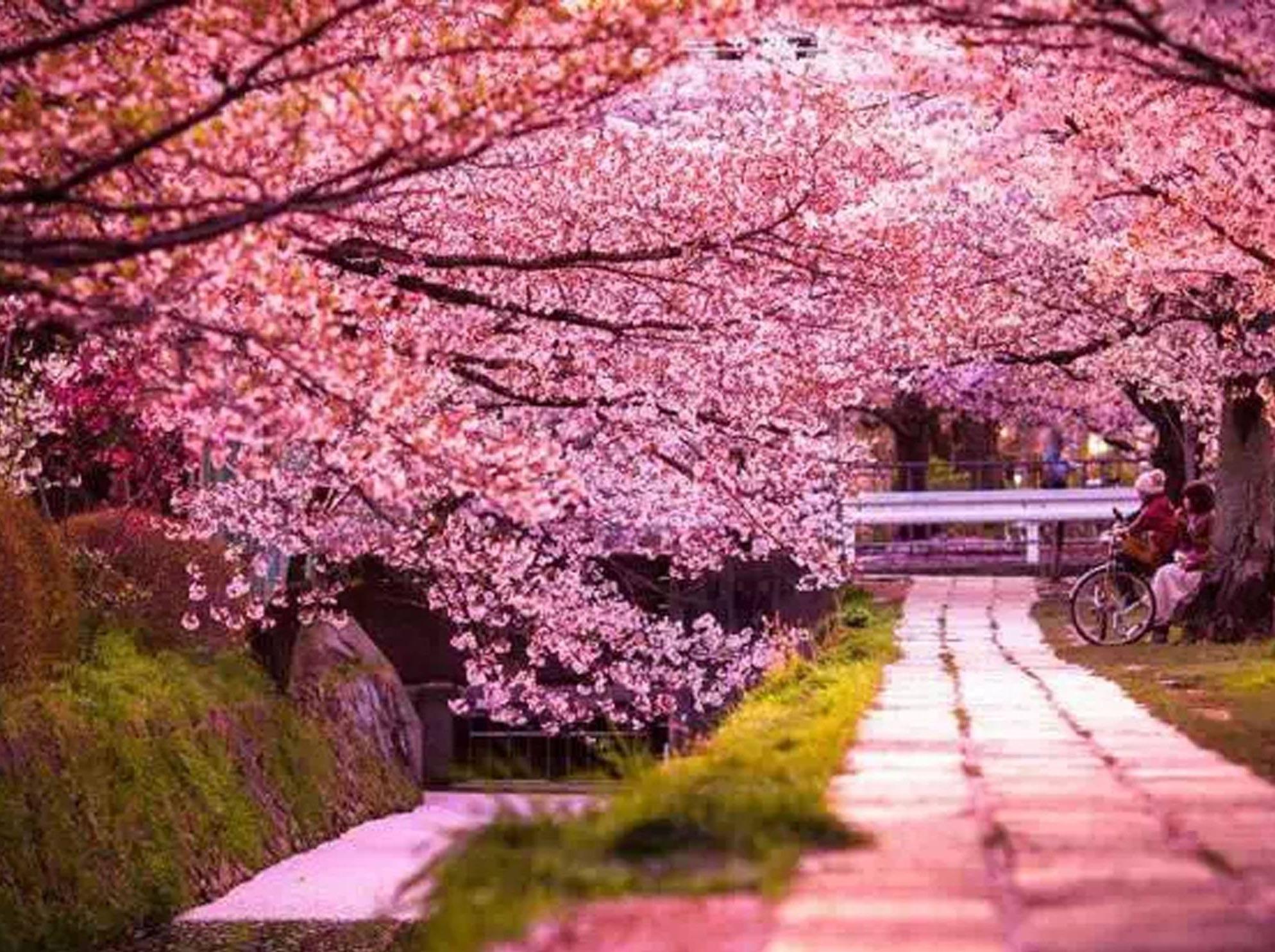 春,去赴一场樱花之约—清明两日赏花之旅