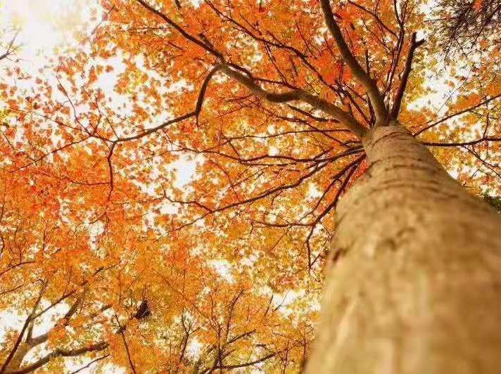 11月16日清凉寨看红叶赏银杏一日游