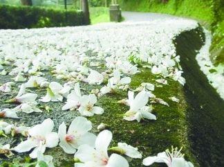 油桐花开,五月雪飘落