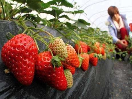 洪湖悦兮·半岛温泉草莓采摘一日游