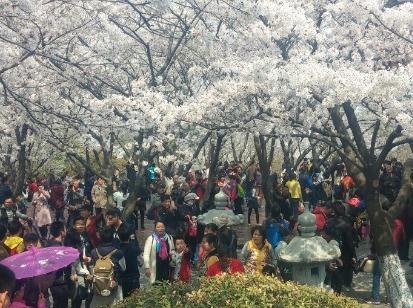 徐州《樱花节》