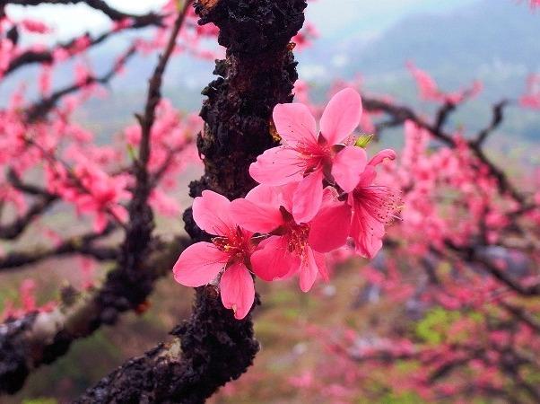 连平桃花+江源温泉+红山村油菜花两天游