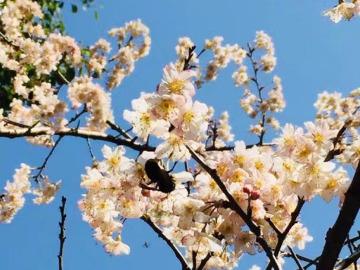 武汉大学赏早樱活动