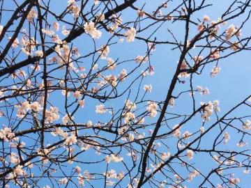 堤角公园赏樱活动