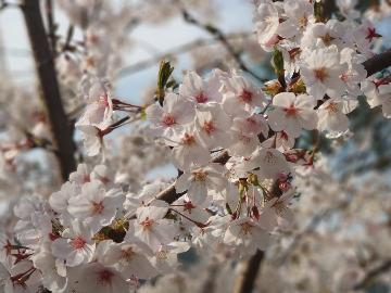 湖北第二师范学院赏樱花活动