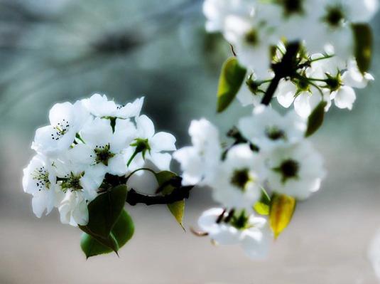 4月8日庞各庄梨花节看梨花纷飞,吃羊蹄宴