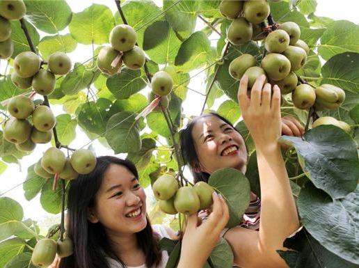 10月1日 观音堂采摘猕猴桃柿子一日游