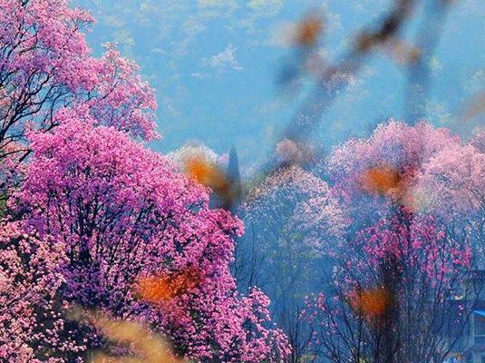 江油吴家后山 | 辛夷花开,姹紫嫣红