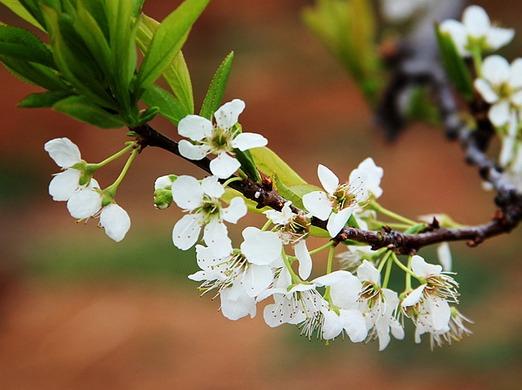 春天一起去踏青,去赏梨花