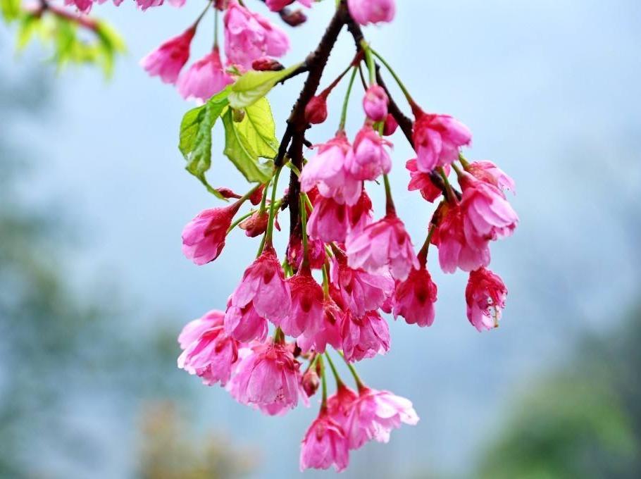 4月9日 三郎镇徒步赏樱花 休闲游