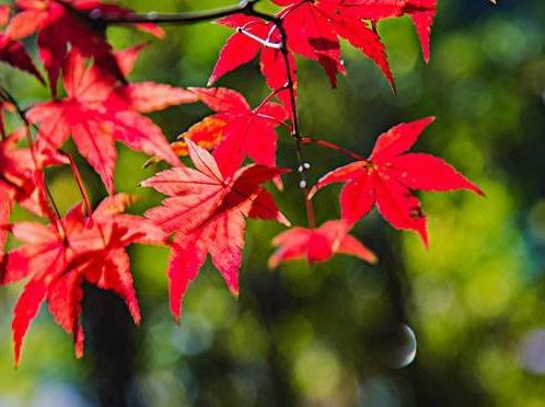 (赏枫叶)紫金山+中山植物园