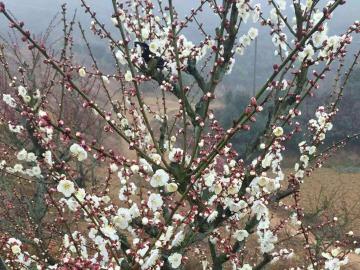 岣嵝峰景区西林赏梅花一日游