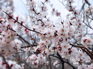 周六赏杏花