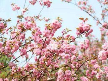 4.14李家坑.蟹坑岭.杖锡赏樱花
