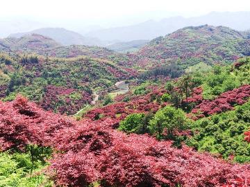 5.19号里村环线看红枫树