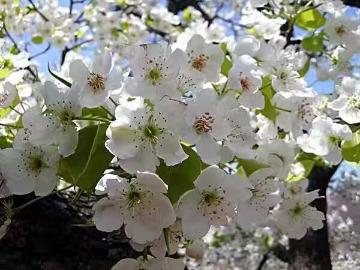 3月17日成都出去金川看梨花,寻最美大东