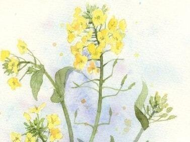《油菜花》水彩手绘公开课