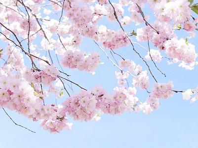 周六3.11 清远佛冈赏百万樱花林