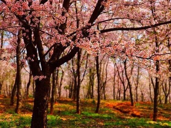 3/11-12贵州平坝-万亩樱花